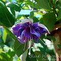 fuchia Blue Hawaii #fuchsia #fuksje #kwiaty
