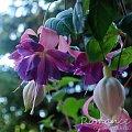 fuchsia Romance #fuchsia #fuksje #kwiaty
