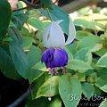 fuchsia Blue Boy #fuchsia #fuksje #kwiaty