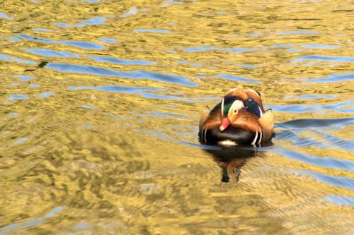 Złota kaczka