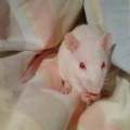 Vegas #szczur #szczury