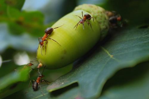 Panowie jak myślicie damy radę zanieść go Królowej ? Napewno się ucieszy. #dąb #mrówki #żołędzie