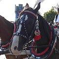 Zadbany krakowski koń #konie #Kraków