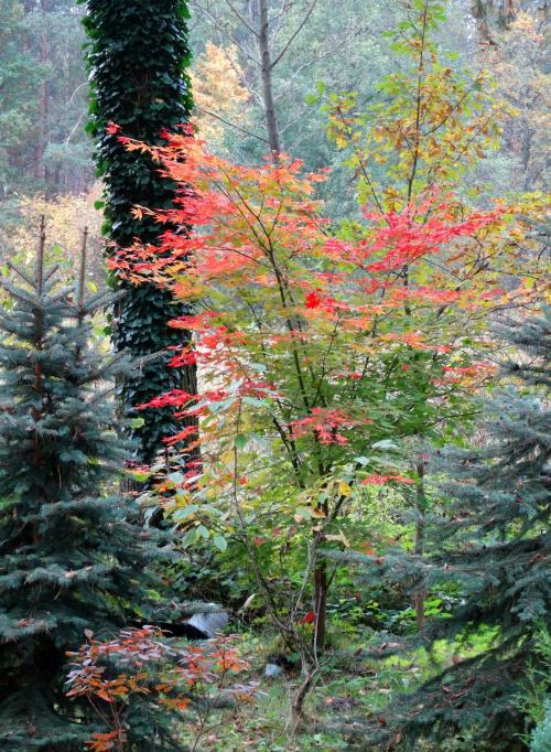 klon jesienią przebarwia się przepieknie #jesień #KoloryDrzewaLas