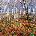 Jesienny las. #las #jesien #brzoza #liscie