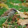 wróbelek #wróbel #głodny #jesień