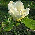 kwiaty magnolii #drzewa #krzewy #kwiaty
