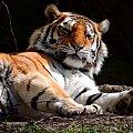 Inny tygrys w łódzkim ZOO #tygrys #zoo #łódź