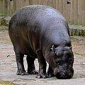Hipopotam karłowaty w krakowskim ZOO #hipopotam #karłowaty #Kraków #zoo